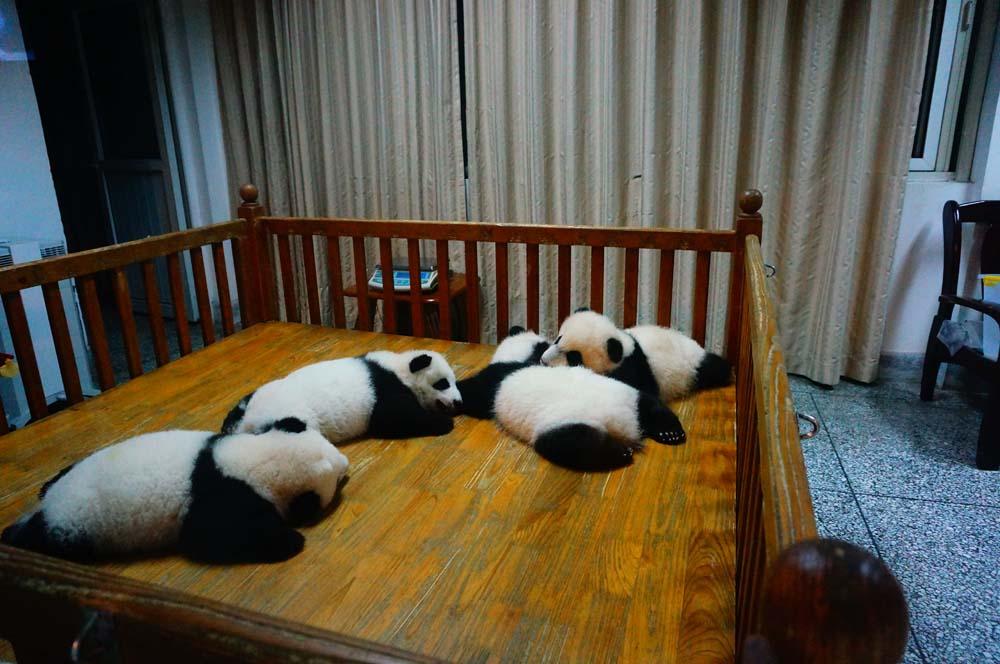 사실 다 큰 팬더는 아재 느낌 나서 좀 별로인데 애기들은 너무나도 귀엽다.