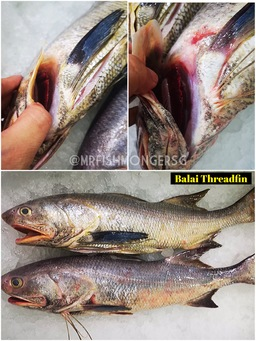 Balai Threadfin Whole Fish (午鱼)
