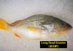 Long Head Grunter (金石鱼)