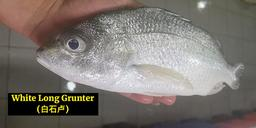 White Long Grunter (白石卢)