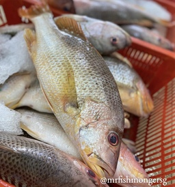 Sea Breed Golden Snapper (金潮鱼)