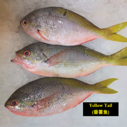 Yellowtail Fish (黄尾鱼)