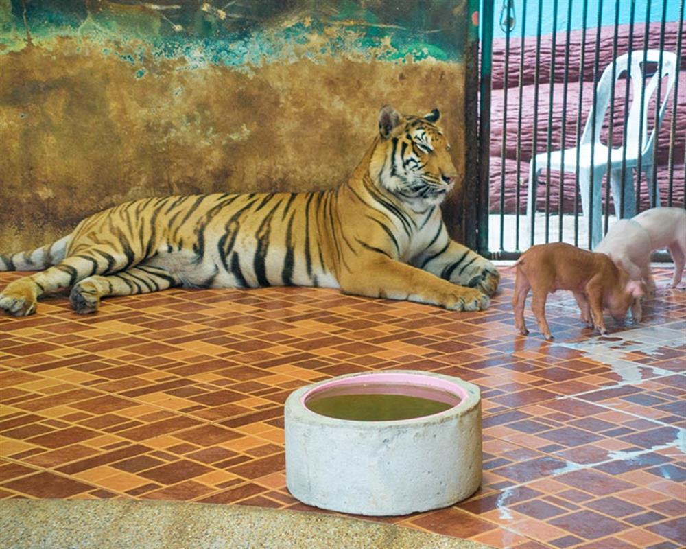 Sriracha Tiger Zoo Chonburi