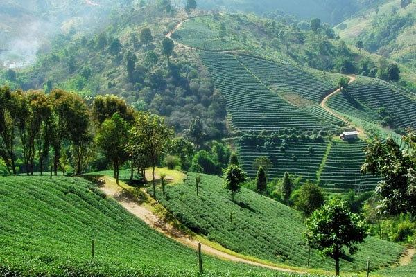 Doi Mae Salong and Doi Tung Tour