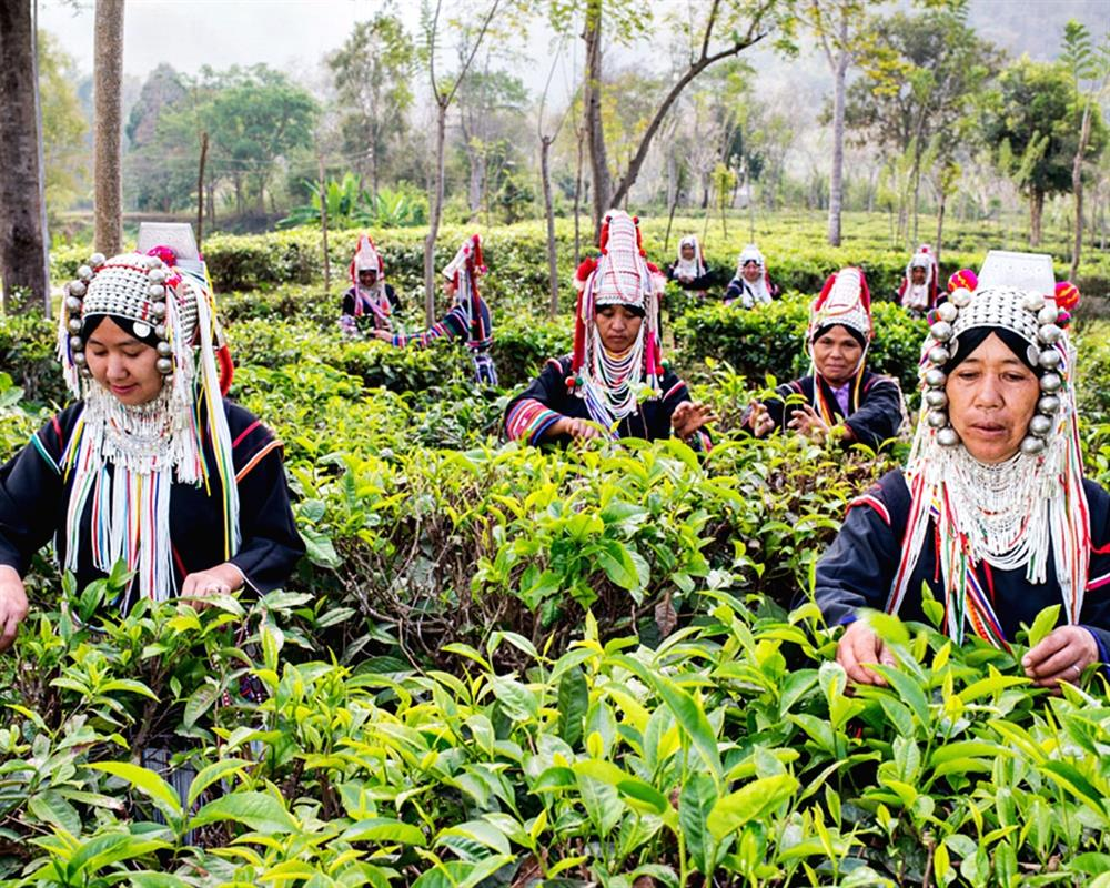 Araksa Tea Plantation Tour
