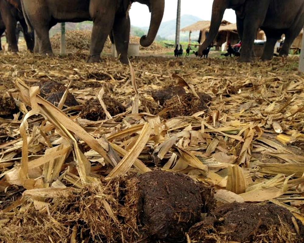 Elephant PoopooPaper Park Chiang Mai