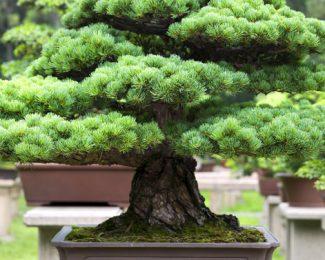 Focus sur le bonsaï : espèces, décoration et entretien