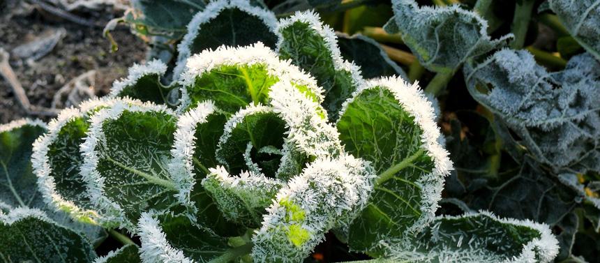 Arrivée des températures fraîches : protégez vos plantes fragiles !