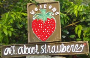 All About Strawberry