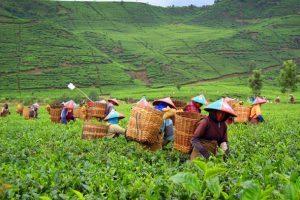 Agrowisata Gunung Mas Bogor yang Wajib Dikunjungi