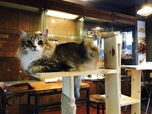 4rest norwegian forest cat cafe