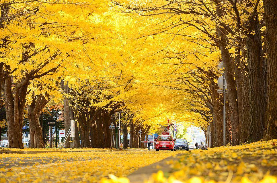 Gingko Tree Road Avenue