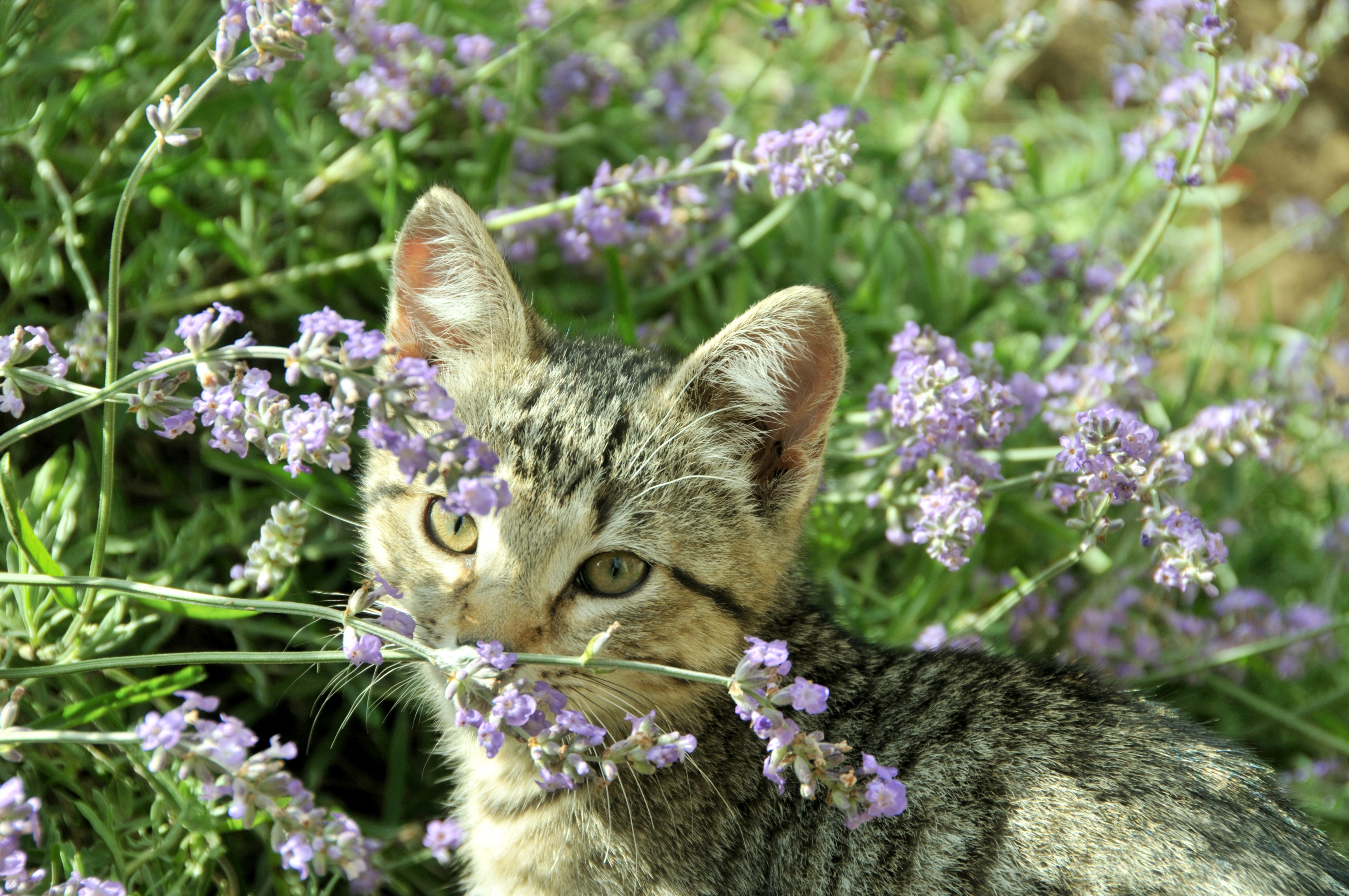 6. Cats love a bit of lavendar