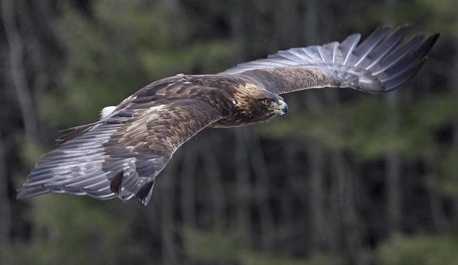 10. Golden eagle
