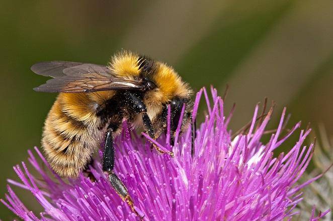 6. Great yellow bumblebee