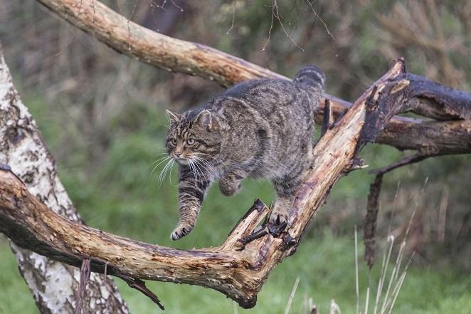 9. Scottish wildcat