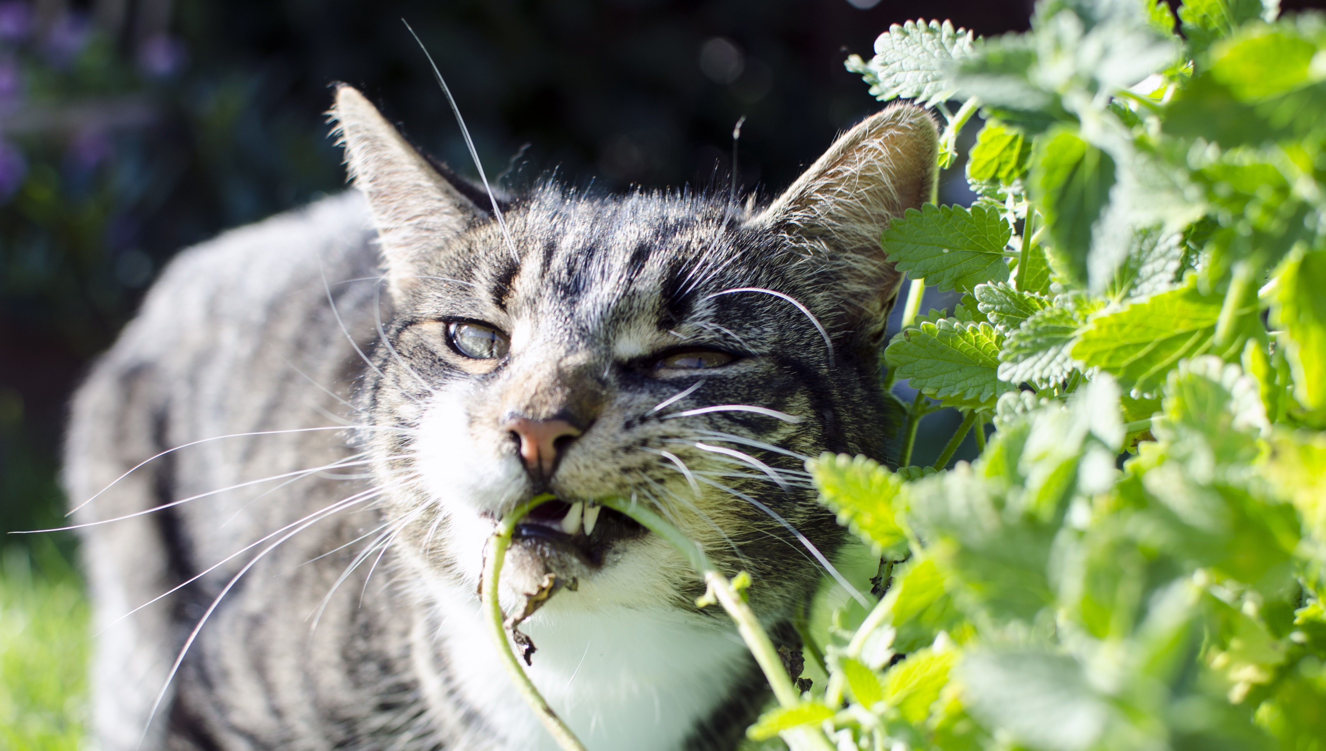 8. Wild catnip will drive them crazy