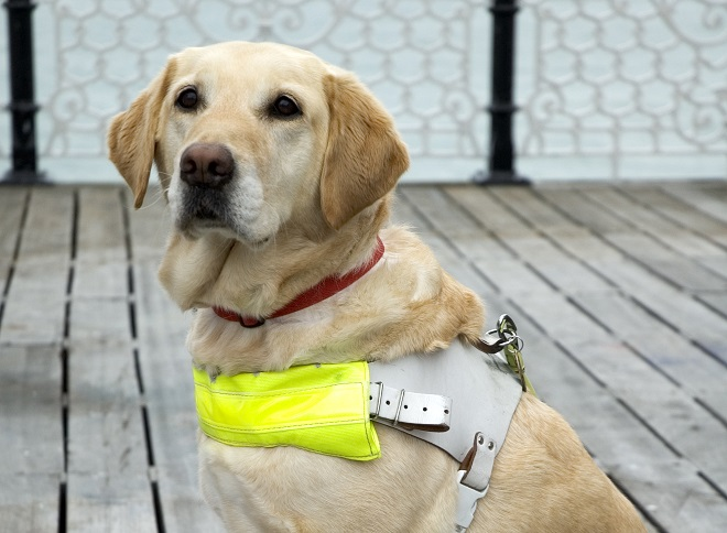 9. Guide Dogs