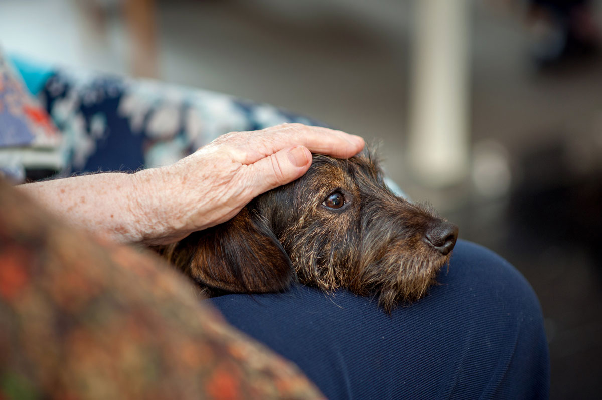 A brown dog sits on an elderly person's lap