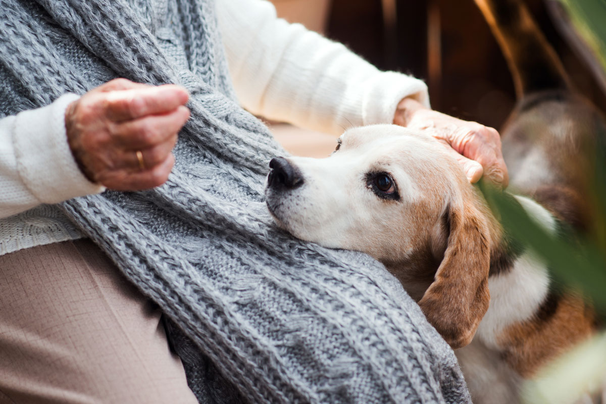 A beagle rests its head on the lap of an elderly woman