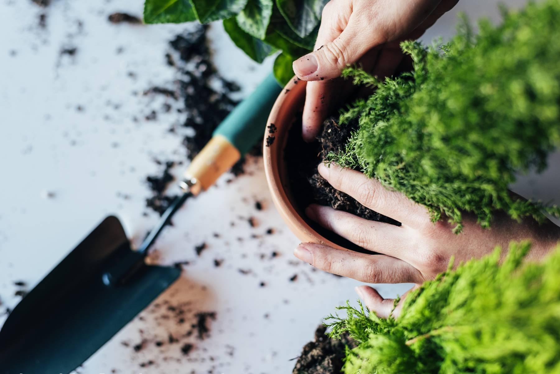 senior planting a flower into a pot