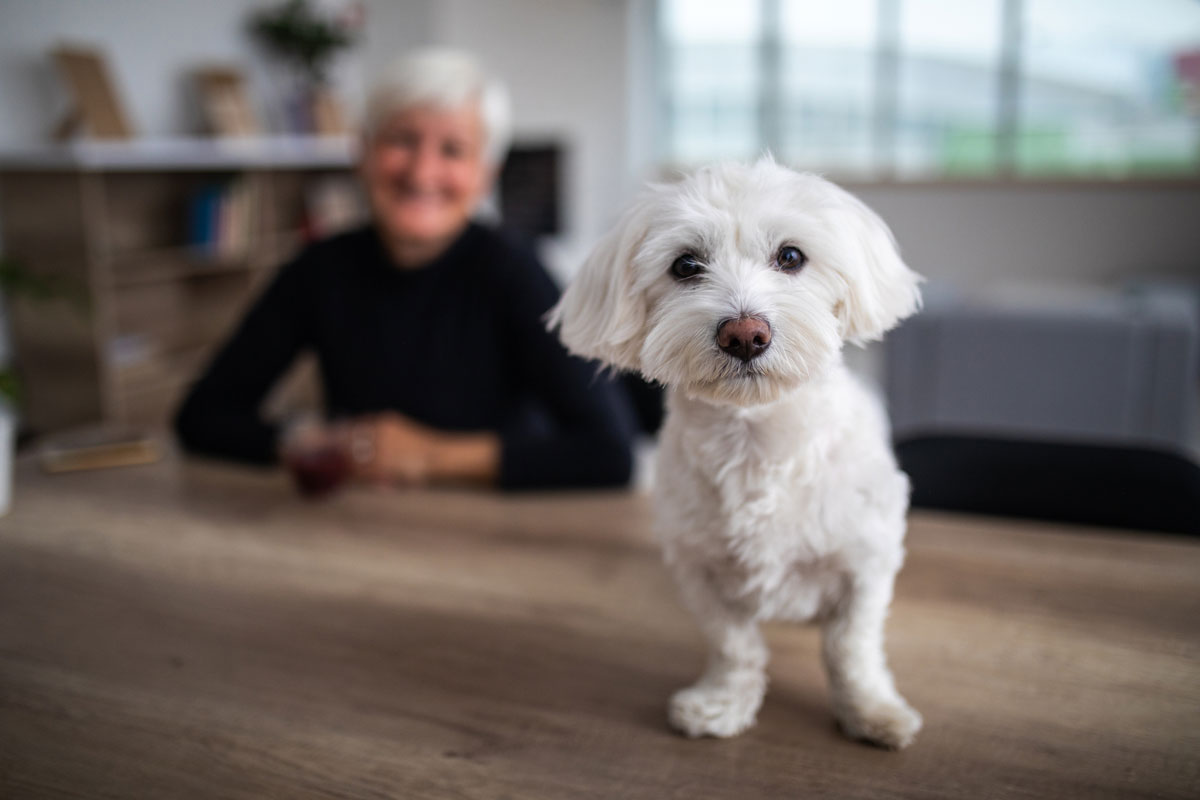 A small white dog on a wooden table with a senior woman in the background