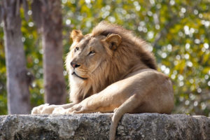 Male lion laying down in the sun