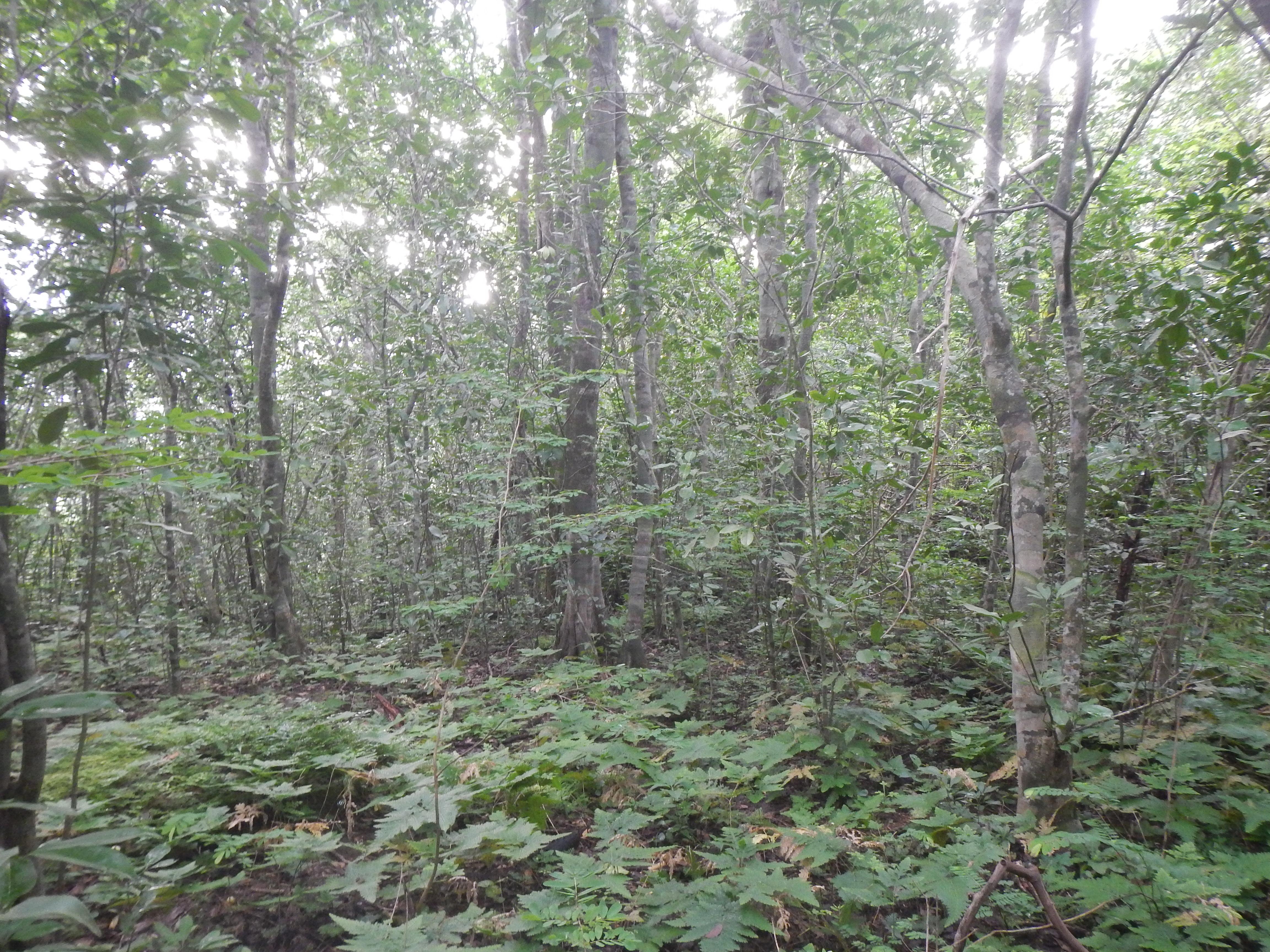 Kounounkan submontane forest near Gbara. (Photo: © Xander van der Burgt, RBG Kew)