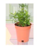 Ficus Microcarpa - 1PCS