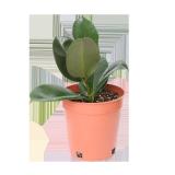 Ficus Robusta - 1PCS