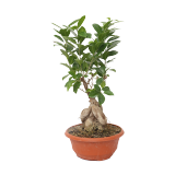 Bonsai small size - 1PCS