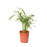 Areca Bushy - 1PCS