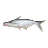 Fresh Cat Fish - 500 g