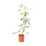 Schefflera Gold Small size - 1PCS