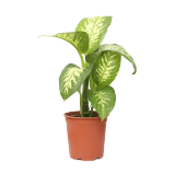 Dieffenbachia Tropic snow Big Size - 1PCS
