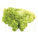 Hydroponic Lettuce Green Lollo Bionda - 250 g