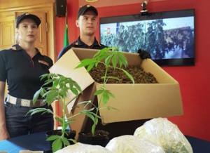 Torino: scoperto laboratorio di marijuana, sequestrati 58 kg di sostanza stupefacente ed oltre 300 piante