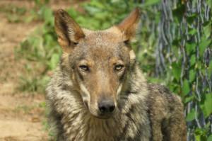 La Regione salva il lupo