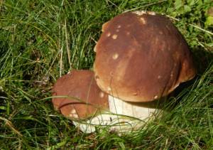 Cercatrice di funghi dispersa nei boschi di Coazze