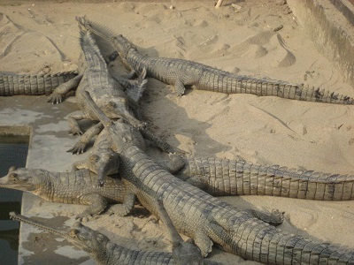 Crocodile breeding center