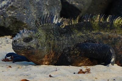 Marine iguana   isabela island