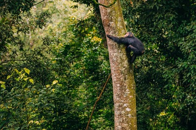 Chimpanzee climbing tree nyungwe