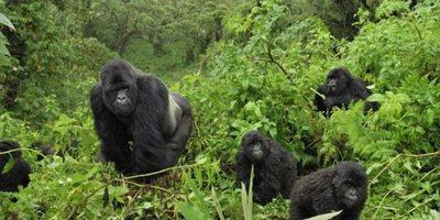 Gorilla tour tracking