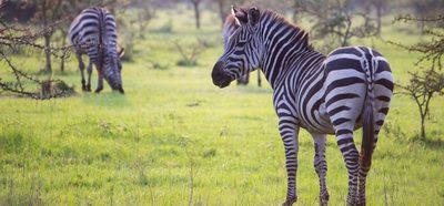 Lake mburo national park zebras