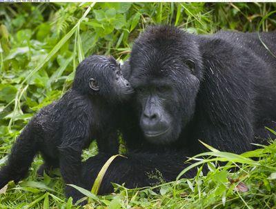 Gorilla kisses