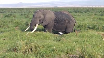 Amboseli elephant marsh