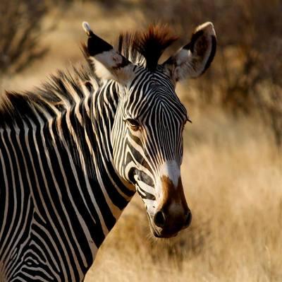 Samburu grevy zebra