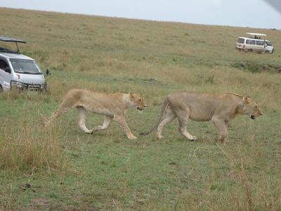 Rhino camp lion