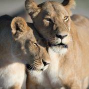 Sunway botswana savuti lions   day 8