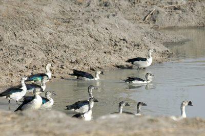 Waza oiseaux mares 2 002